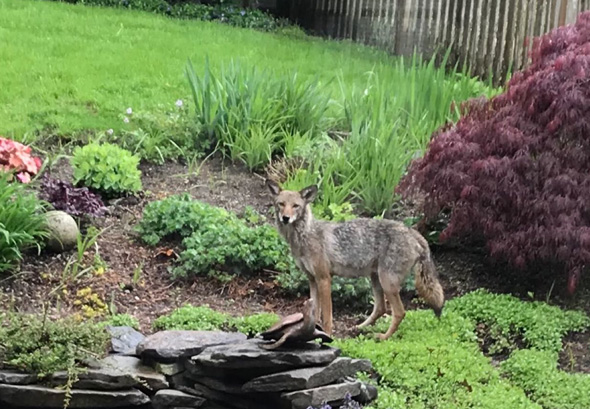 Coyote in West Roxbury backyard
