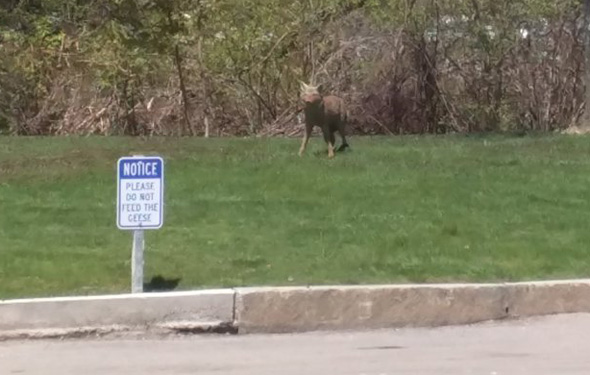 Coyote at Dedham Mall