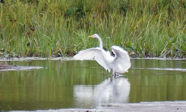 Egret on the Charles
