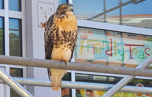 Hawk outside Friendly Toast in Cambridge