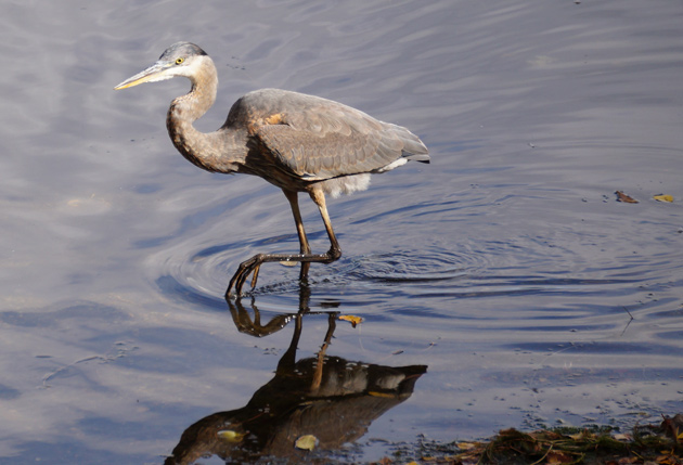 A heron in Jamaica Pond