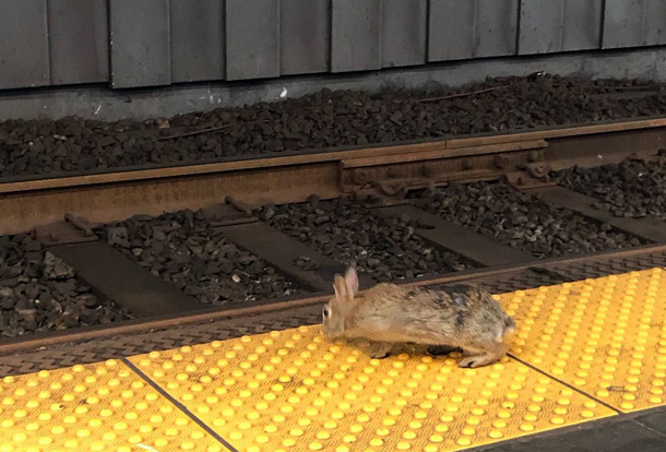 Rabbit in the Kenmore Square Green Line station