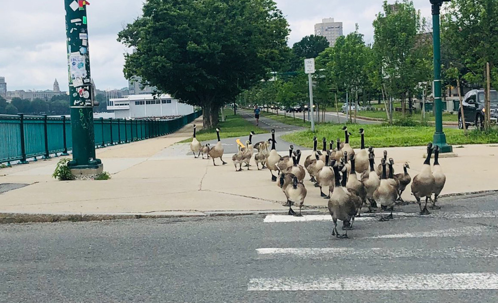 Geese in Cambridge