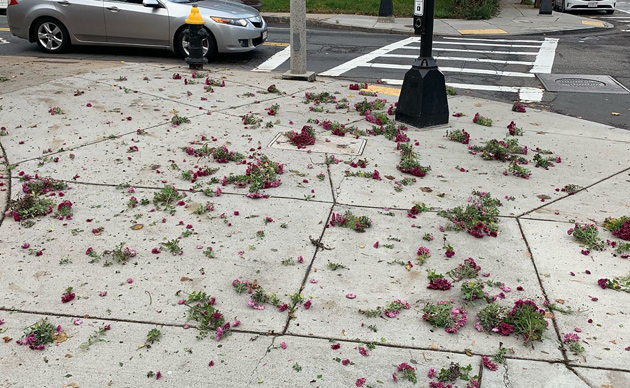Destroyed mums in Jamaica Plain