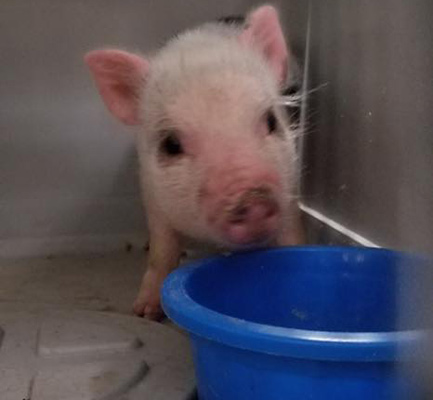 Escaped pig went on the lam