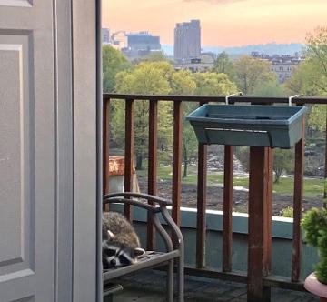 Raccoon on Fenway balcony