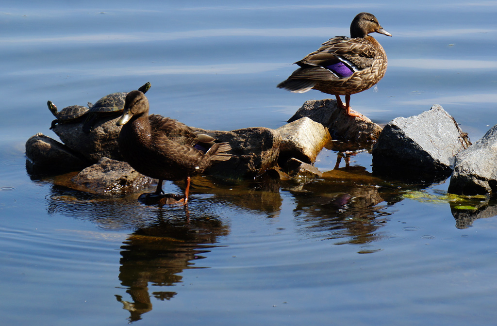 Turtles and ducks on rocks at Jamaica Pond