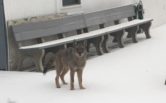 Coyote at Savin Hill Yacht Club