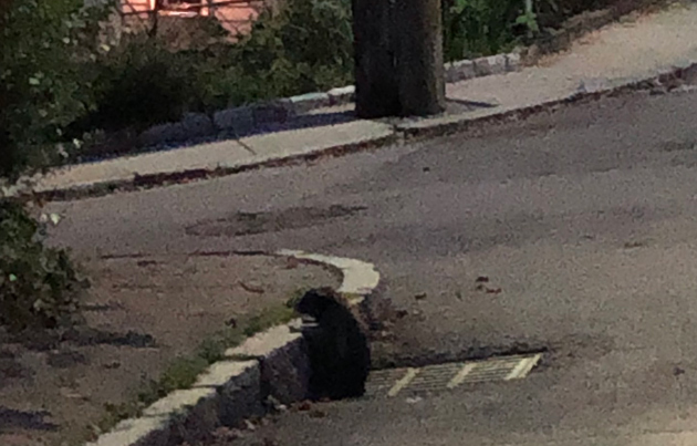 Raccoon coming out of sewer in Jamaica Plain