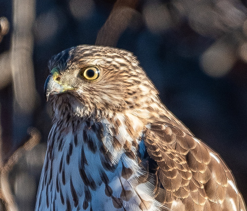 South End hawk