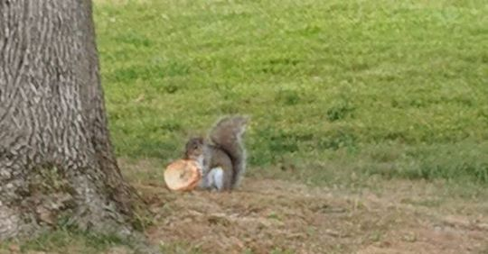 Squirrel eating a bagel in Newton