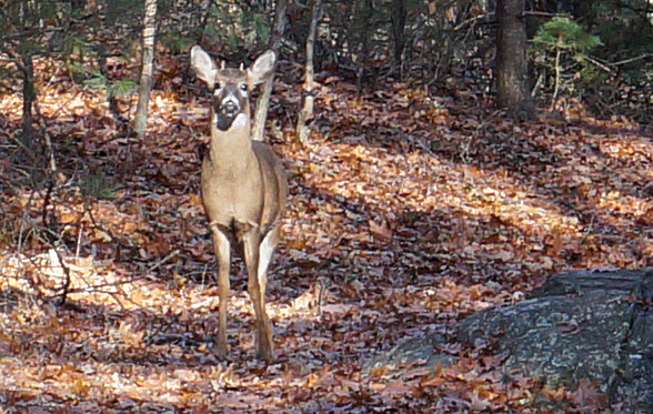 Deer in Stony Brook Reservation