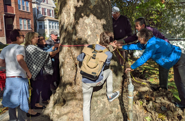 Measuring the mighty sycamore tree on Poplar Street in Roslindale