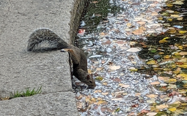 Squirrel getting a drink from the Boston Public Garden lagoon