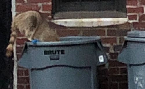 Raccoon in the trash in alley off Marlborough Street