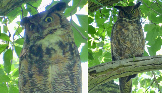 Great horned owl at Millennium Park