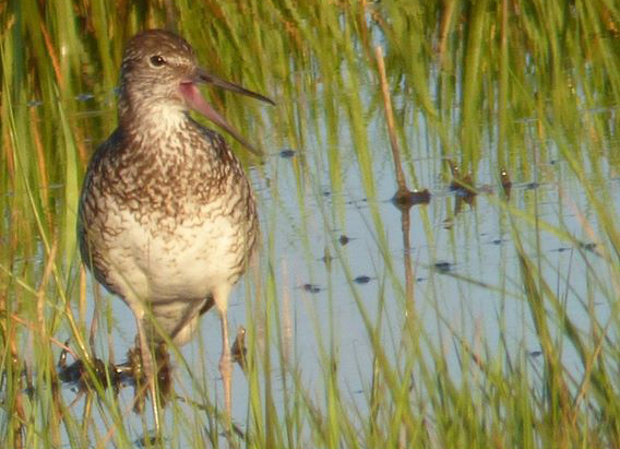 Willet in Squantum marshes in Quincy