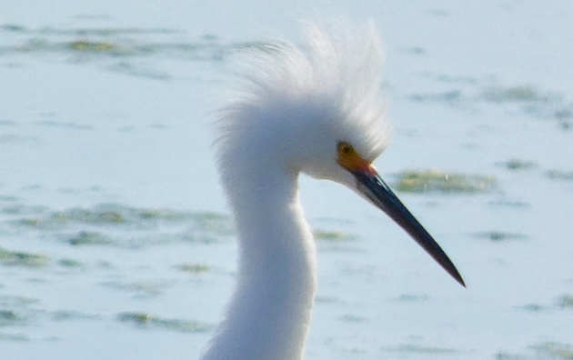 Egret with fuzzy feathers at Belle Isle Marsh