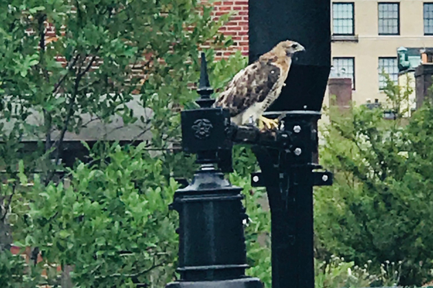 Falcon on Beacon Hill light fixture