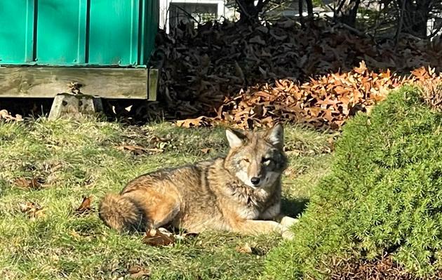 Big coyote
