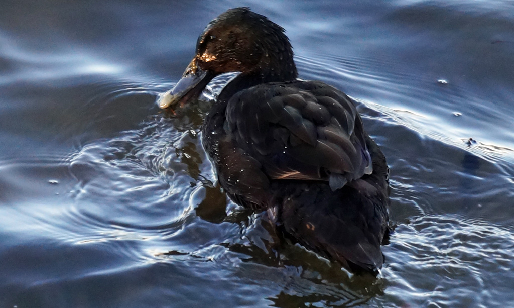 Black duck at Jamaica Pond