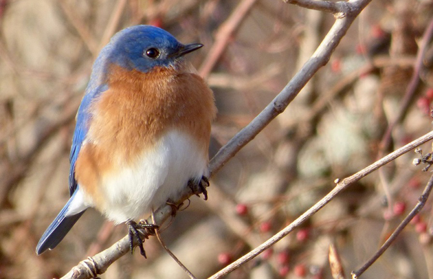 Eastern bluebird at Millennium Park