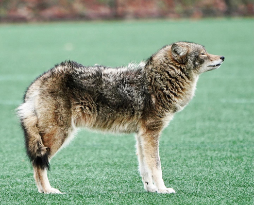 Bushy coyote
