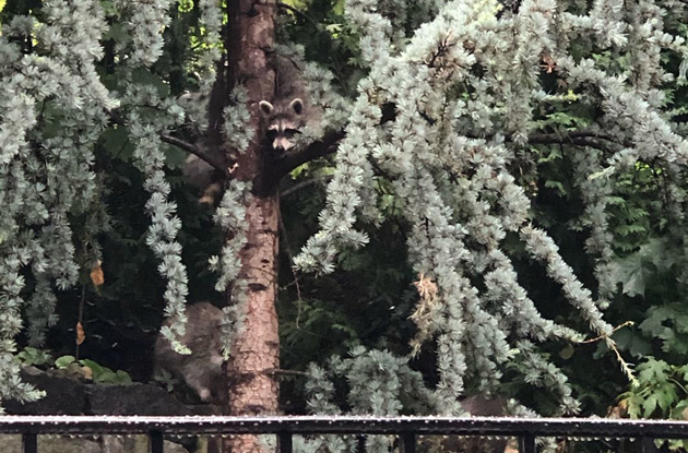 Raccoon in a tree in Charlestown
