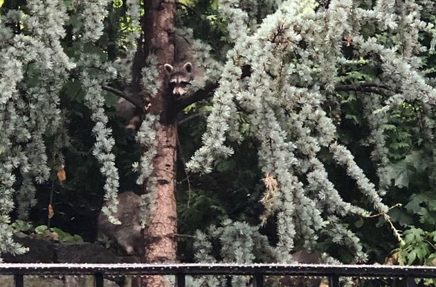 Raccoon in a tree in Charlestown