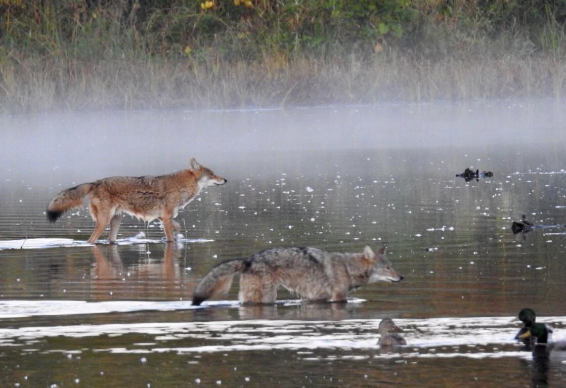 Coyotes in the mist