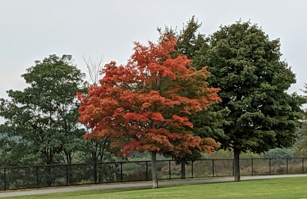 Orange tree at Millennium Park