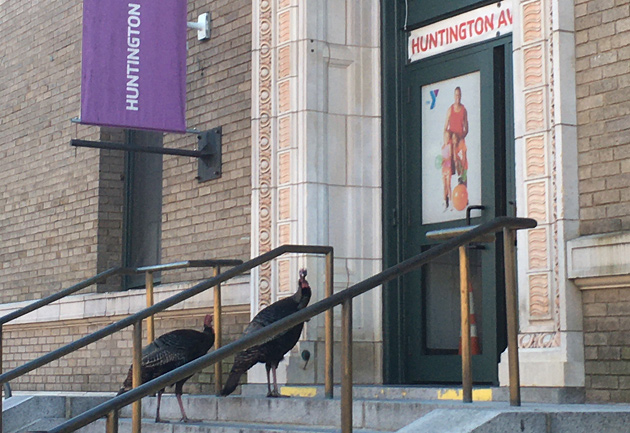 Turkeys outside the Huntington Avenue YMCA