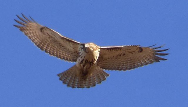 Hawk looking for dinner at Millennium Park in West Roxbury