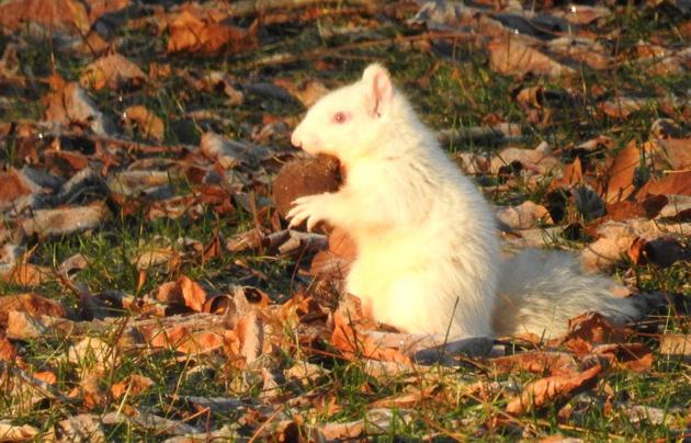Albino squirrel at Jamaica Pond