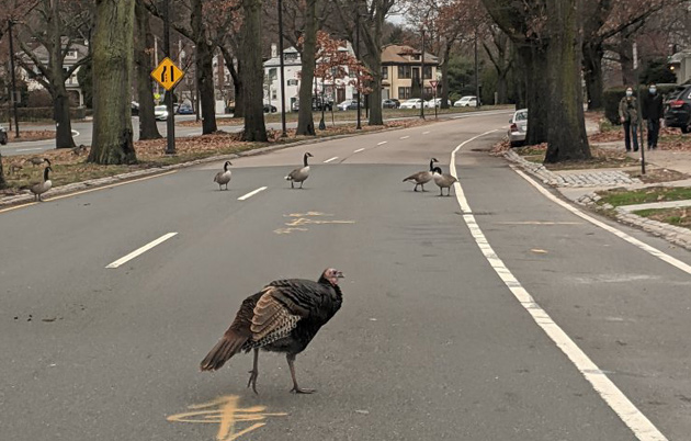 Turkey and geese in Jamaica Plain