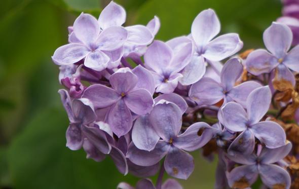 No Lilac Sunday at the Arboretum