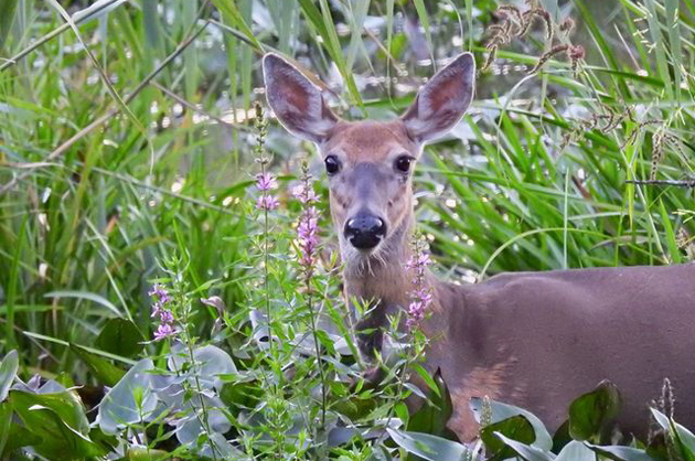 A deer in the early evening