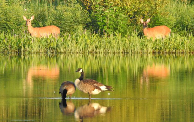 Deer and geese at Millennium Parrk