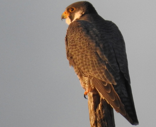 Peregrine falcon perched by the Charles River in West Roxbury