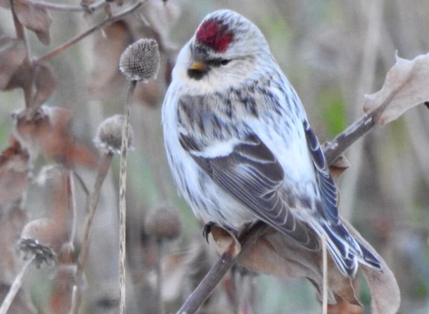 Hoary redpoll on the Rose Kennedy Greenway in Boston