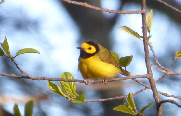 Hooded warbler at Chestnut Hill Reservoir