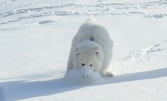 Fluffy white dog in the snow