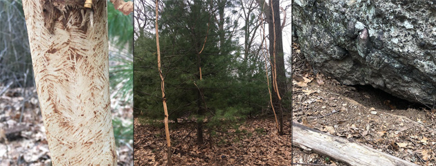 Denuded saplings and possible porcupine lair