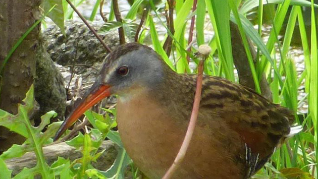 Virginia rail in Millennium Park in West Roxbury
