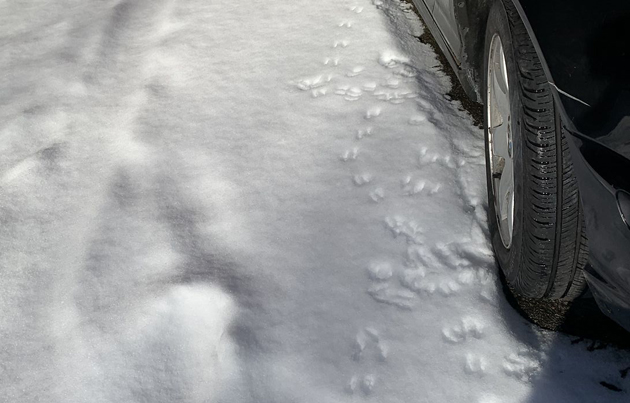 Rat tracks in the snow in the North End