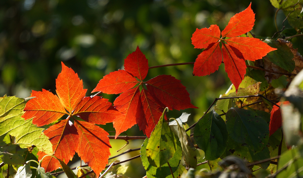 Reddish orange leaves at Millennium Pak