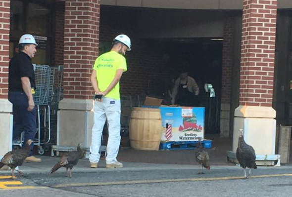 Live turkeys at Roche Bros. in West Roxbury
