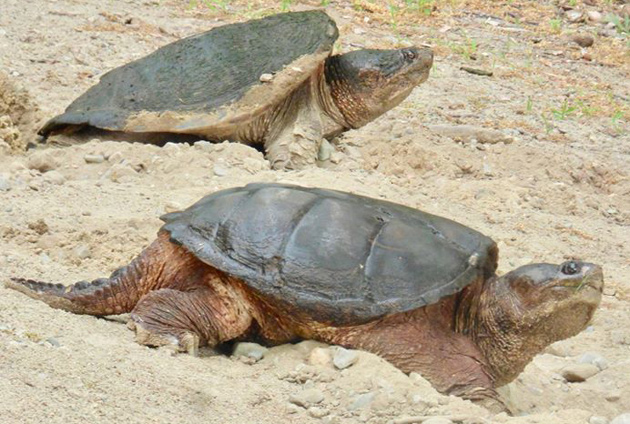 Snapping turtles in West Roxbury