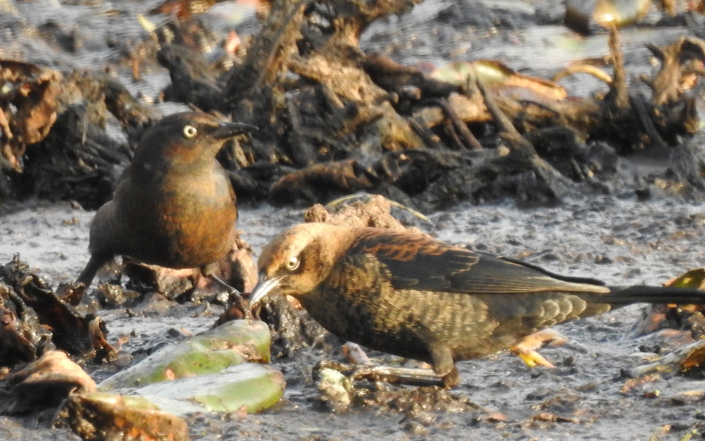 Spooky birds in the muck at Millennium Park