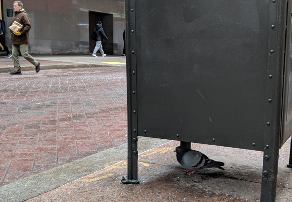Pigeon downtown
